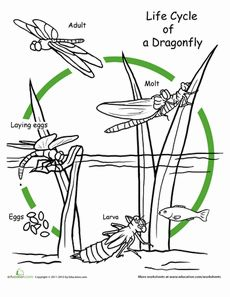 Color the Life Cycle: Dragonfly Worksheet is a perfect illustration to use on a wearable life cycle shirt from ScienceWear.net