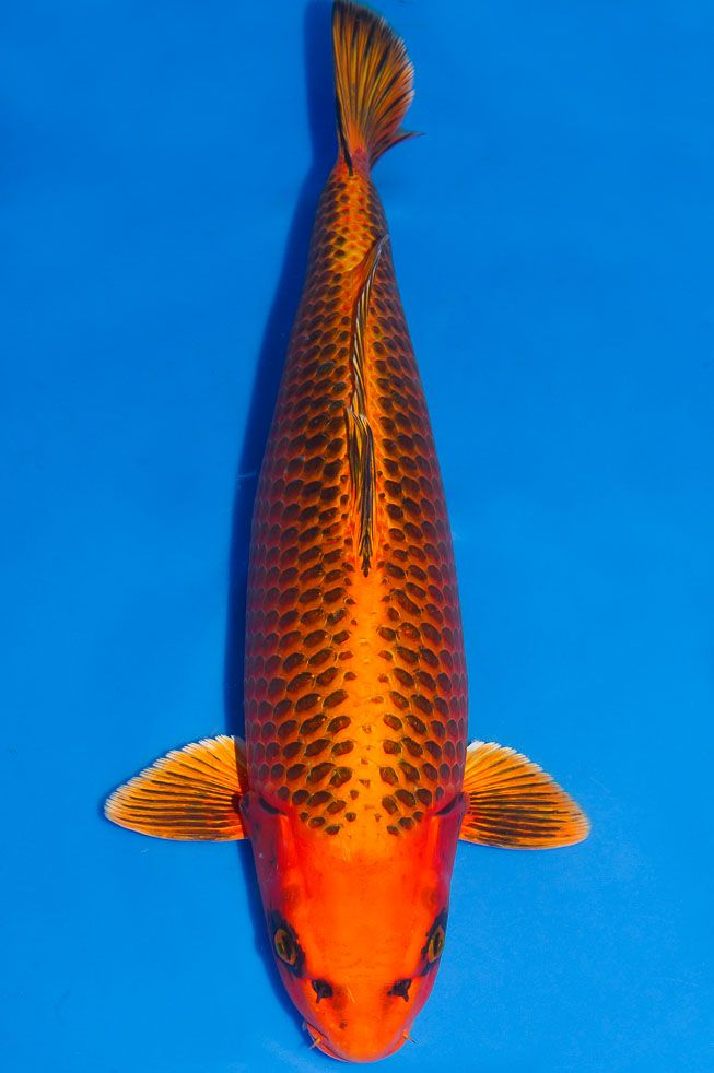 131 best koi name images on pinterest pisces fish tanks for Kin matsuba koi