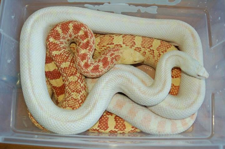 Albino & Snow Bull Snakes | Iguanas , Lizards , Snakes ...