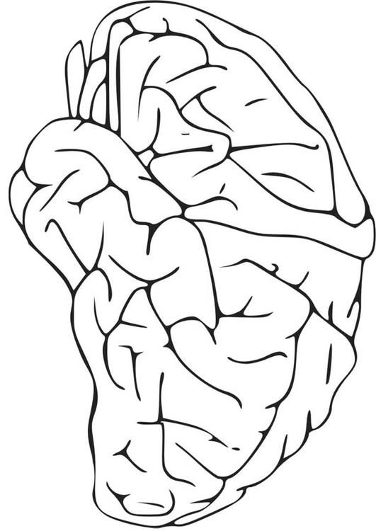 Coloring page Brain - coloring picture Brain. Free coloring sheets to print and download. Images for schools and education - teaching materials. Img 16581.