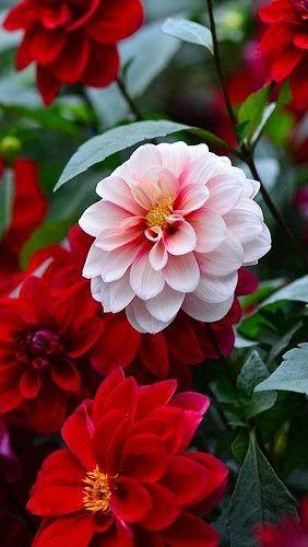 Gorgeous Dahlias