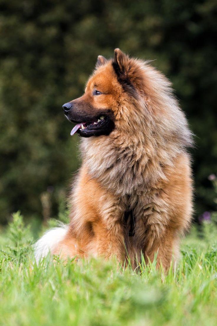 25+ Best Ideas about Eurasier on Pinterest | Fat puppies