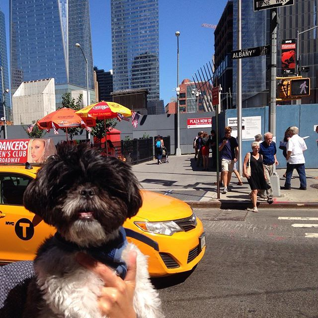 Instagram @Oliverbeafromnyc That's no Uber. Call me old fashion, I still hail a New York yellow cab.  #nyc #taxi #freedomtower #tot #tongueouttuesday  #shihtzus #shihtzu #shihtzusofinstagram #shihtzusofinstagramuse #pet #pets #petstagram #petsofinstagram #pets_of_instagram #animal #animals #animalsofinstagram #dog #dogs #dogsofinstagram #dogstagram #dogs_of_instagram #Instapet #instadog #instadaily #instafluff #weeklyfluff #buzzfeed #buzzfeedanimals #nycdogs