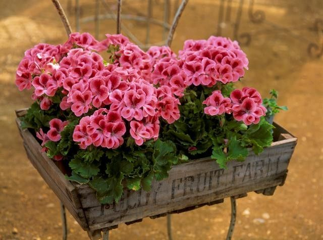 Dishfunctional Designs: Vintage Wood Crates: Upcycled & Repurposed: Fruit Crates, Pink Flowers, Idea, Color, Vintage Wood, Gardens Planters, Wooden Boxes, Pink Geraniums, Wood Crates