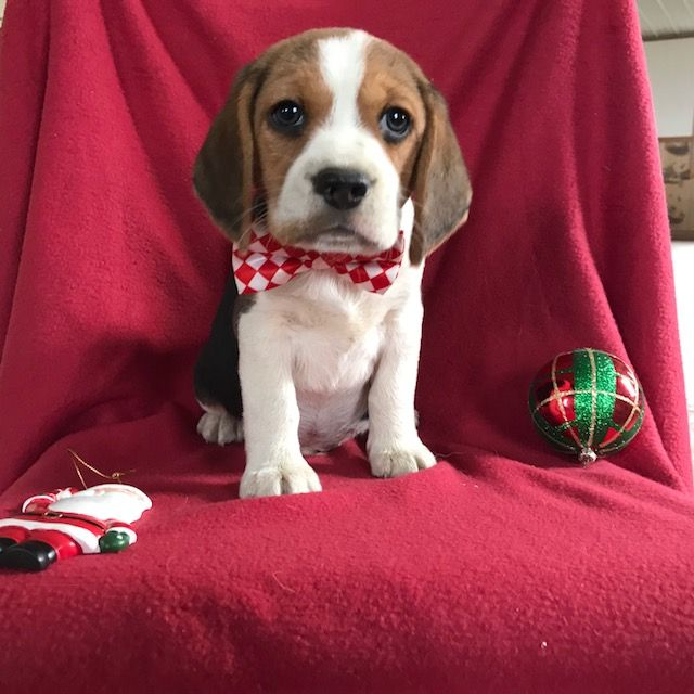 Beagle Puppy For Sale In East Earl Pa Adn 56424 On Puppyfinder