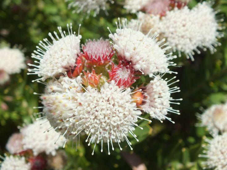 Gordon's Bay Pincushion (Leucospermum bolusii)