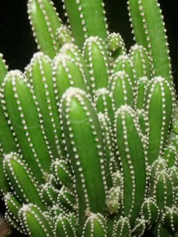 Acanthocereus tetragonus 'Fairy Castles' (Fairy Castle Cactus) → Plant characteristics and more photos at: http://www.worldofsucculents.com/?p=3255
