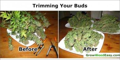 before and after trim How To Grow Marijuana Step 4: Harvesting & Drying