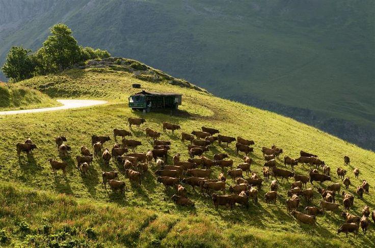 Troupeau de Tarines sur un alpage. Un troupeau est constitué de 5 à 200 vaches