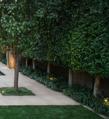 Ficus hillii - Pleached Hedge More