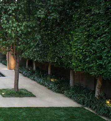 Ficus hillii - Pleached Hedge