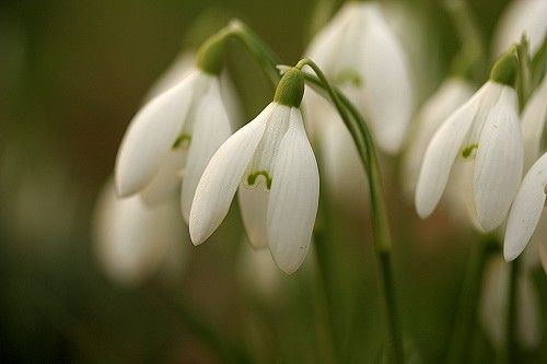 Snowdrops can, wonderfully, pop up through snow making the drab