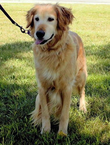 Female golden retriever puppy naperville il