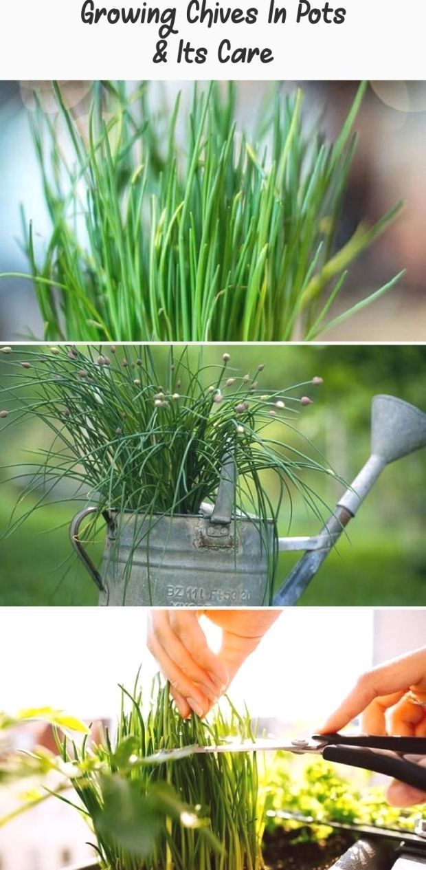 Growing Chives In Pots Its Care Learn Growing Chives In Pots Without Much Sp In 2020 Growing Chives Chives Plant Medicinal Herbs Garden