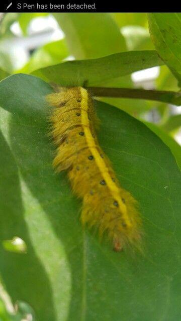 Caterpillar guava