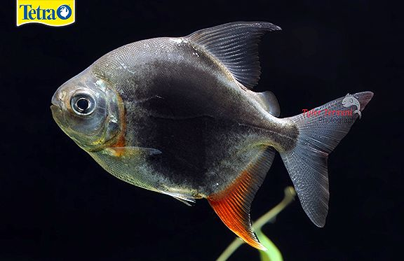 136 best tyler termini 39 s photography on tetra 39 s pinterest for Easy to care for fish