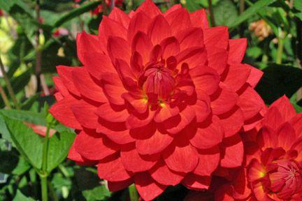 Dahlia/RHS Gardening