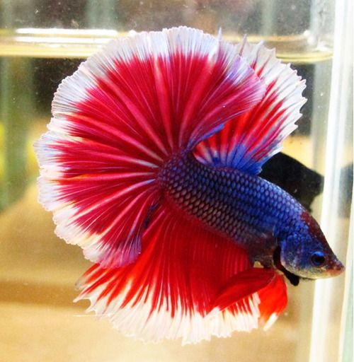 Dark red betta fish - photo#23
