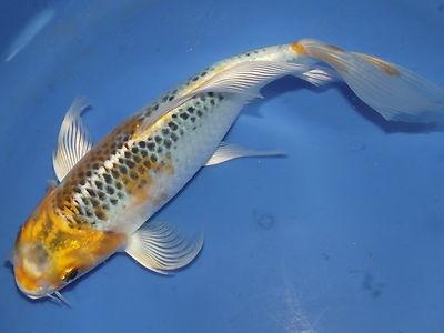 46 migliori immagini su koi e dintorni su pinterest blu for Pesce rosso butterfly