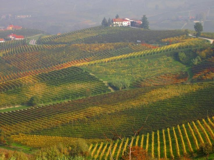 Rolling hills covered with grapes in Alba, Piemonte.
