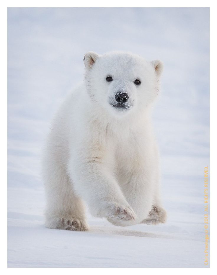 Arctic Excitement:  Polar bear cub running to his mom in Hudson Bay, Canada by Chris Prestegard