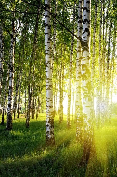 Beautiful birch forest in Finland!