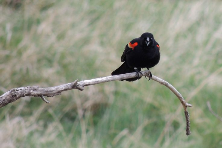 Red-Winged Blackbird ©Steve Frye. Wild Bird Company - Boulder, CO. Saturday Morning Bird Walk at Sombrero Marsh - April 18, 2015.