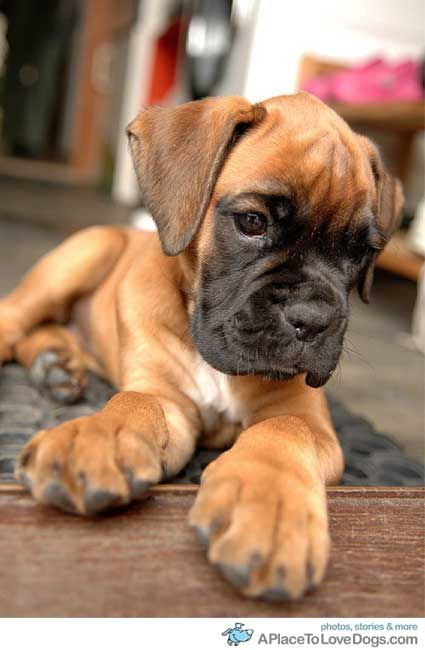 Boxer puppy Okay, so, my paws and head are big..the rest will catch up, then look out
