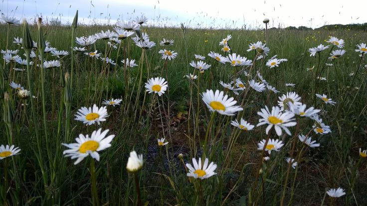 Cute little patch of oxeye daisies