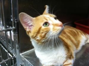 Miller is an adoptable Domestic Short Hair Cat in LaGrange Park, IL. Miller is a sweet and talkative orange marble tabby and white. He's cute as can be and will roll around in his cage seeking your a...