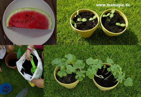 Wassermelonen aus Kernen selbst ziehen / Grow your own watermelon