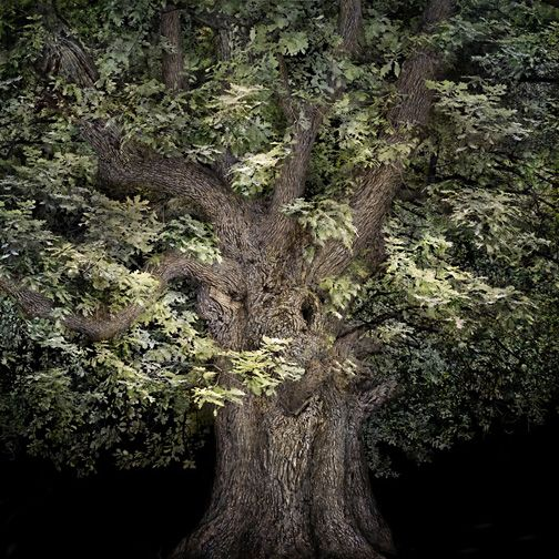 "Irene Kung: Oak Tree, 2011 - D-print on rag paper 39.3"" x 39.3"" (100 x 100 cm)"
