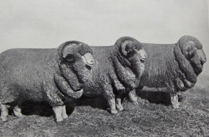Three Merino Rams, Bred at Hadden Rig. Won the special shearing price at the NSW Sheepbreads' Asc. Sydney 1923. Haddon Rig, New South Wales. The Property of Franc B. S. Falkiner, Esq. Originally a property of approximately 28,000 acres. Enlarged to 80,000 acres with the purchases of Merrimba Station, Wemabung Station and Bona Station in the early 1920s. Photo circa 1920. Uploaded courtesy of thecollectorsbag.com
