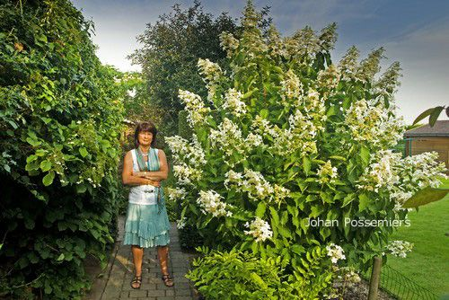 hydrangea paniculata 39 cov 39 levana hortensje. Black Bedroom Furniture Sets. Home Design Ideas