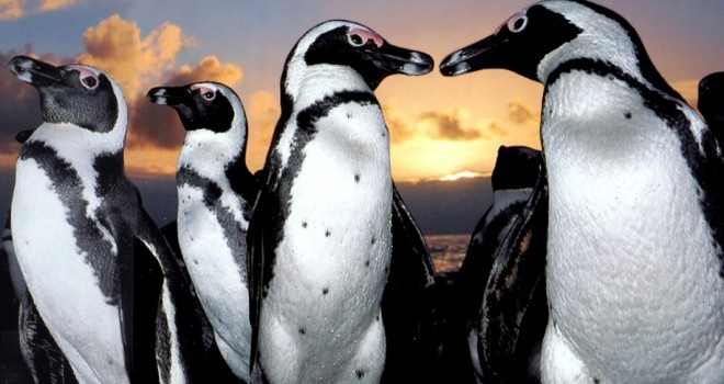 Curioso Blogger: Un seguro de vida para los pingüinos en Chile (Vídeo)