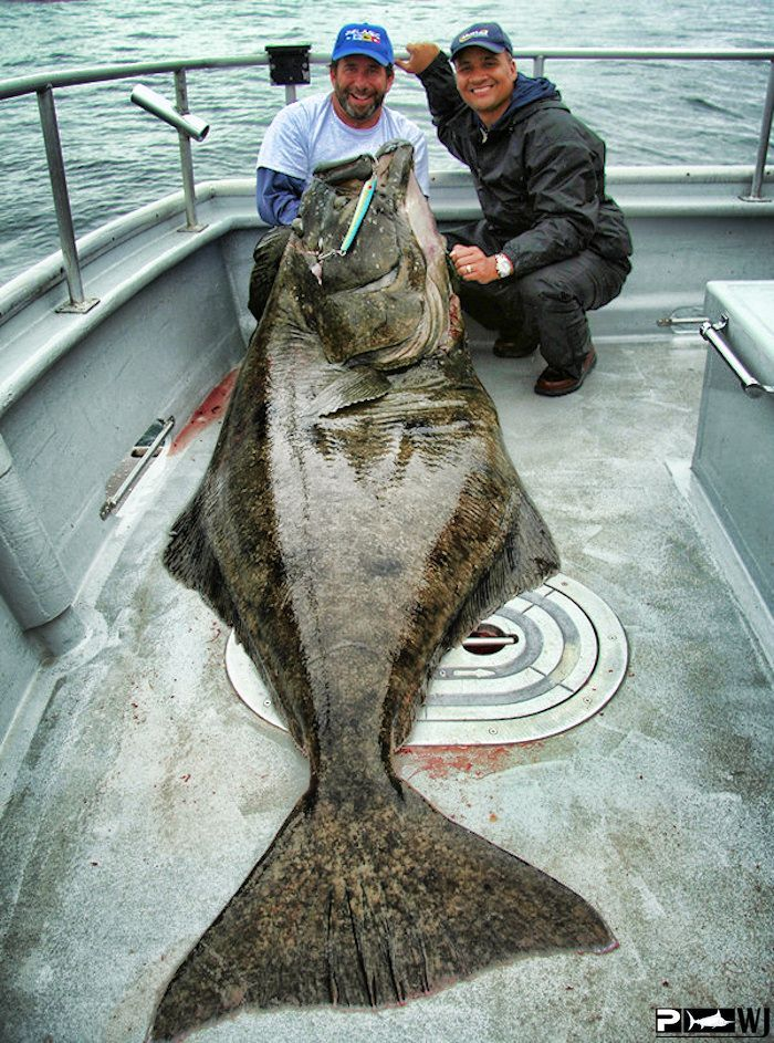 halibut  So exited for this season !!!
