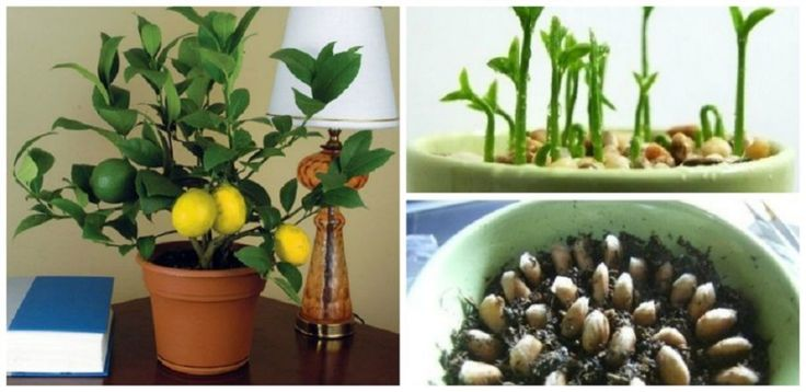 Hogyan ültess és gondozz egy citromfát? Megmutatjuk lépésről-lépésre a titkát! - Bidista.com - A TippLista!