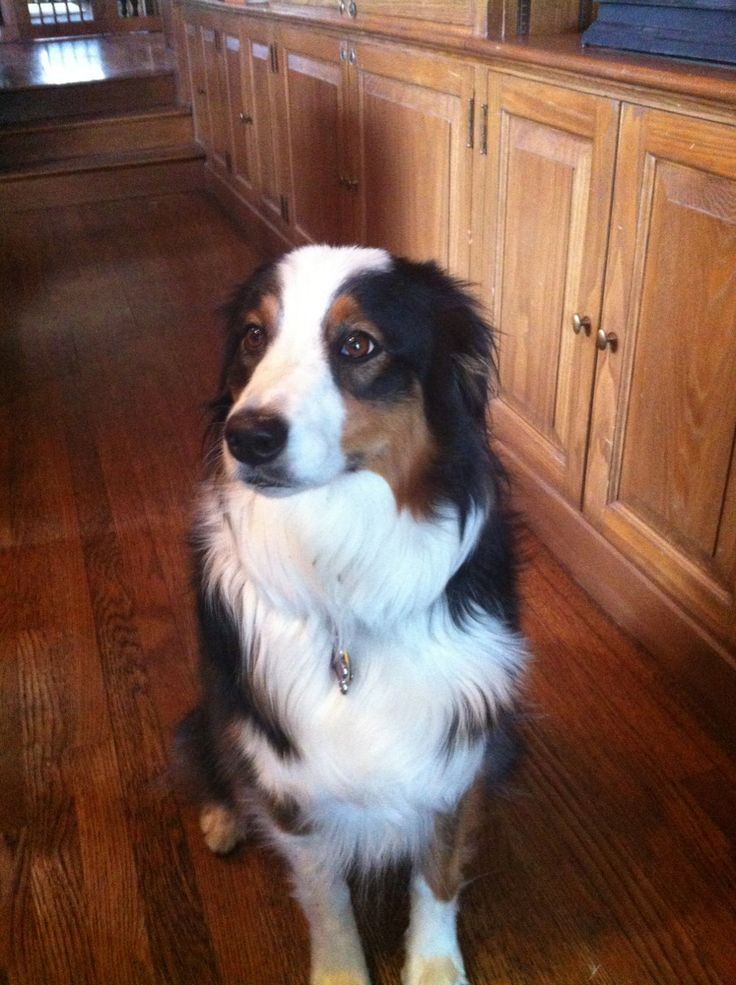 White And Brown Australian Shepherd 17 Best ideas about Bl...