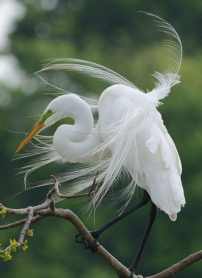 von solchen Bildern kann man nur träumen.... wunderschöne Aufnahme aus Neuseeland von einem Kotuku.... Great Egret