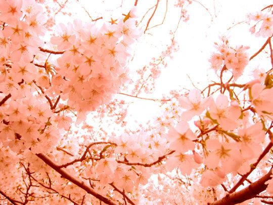 Spring Blossoms  in Peach color Nature by natashataylesart on Etsy, $20.00