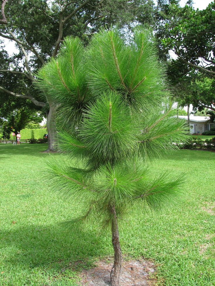 POTENTIAL PLANT (ONE OF THE FEW CONIFERS I LIKE) slash pine