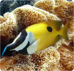 Onespot Foxface Rabbitfish, Blotched Foxface - Siganus unimaculatus