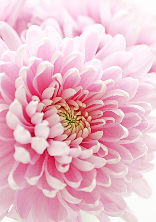 Ive loved this flower since the first time i could pronounce it. chrysanthemum!