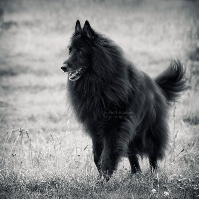 © wolf shadow photography      #dogs #Groenendael