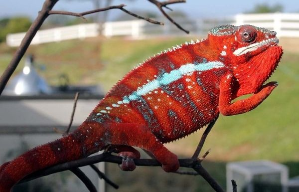 Who said Chameleons were one dimensional?  These amazing creatures are anything but... Check out these kaleidoscopic displays to see their true colors.