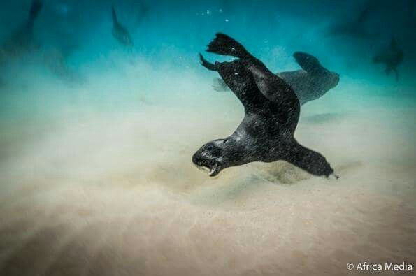 Our Cape Fur Seals make great subjects for our underwater photography interns #oceanpictures