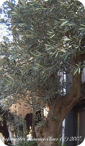 Olijfboom bescherming winter- soorten olijven eigenschappen, olijfboom, olijfolie, olijf snoeien oogsten winter