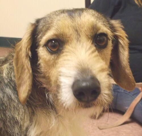 Baxter - Wirehaired Terrier mix - 2 yrs old - Wabash County Animal Shelter - Wabash, IN. - https://www.facebook.com/photo.php?fbid=688382264533564&set=a.611613635543761.1073741846.539966599375132&type=3&theater - http://www.petfinder.com/petdetail/29068524/