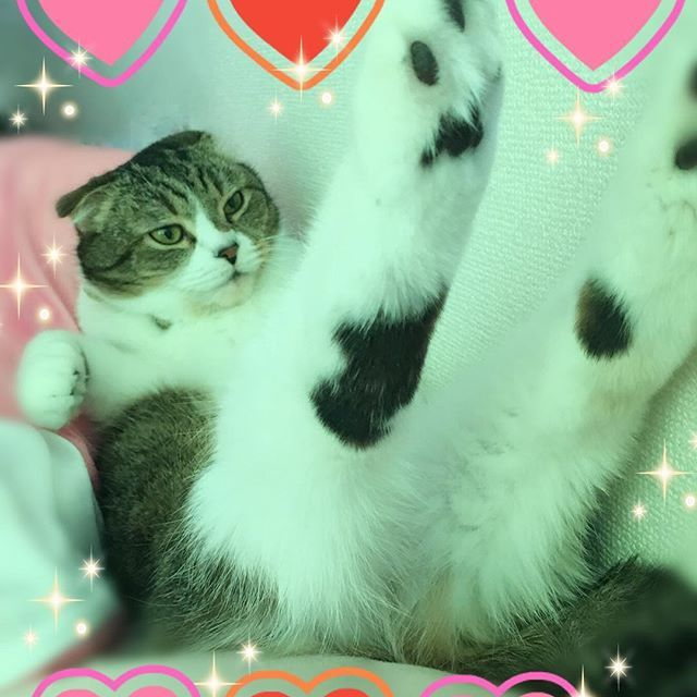 起きたらかなはにゃん😸☀️ランたん脚伸ばし😹w実は意外に手足長いんだぞー♡wエアロビしてるみたいw天気良いし早起きしたし今日もがんばろう٩(*´∀`*)۶✨  #愛猫#猫#ねこ#cat#고양이#動物#ペット#宠物#pet#애완동물#スコティッシュフォールド#귀여운#다리#足#脚#足伸ばす#脚長い#足長い#可愛い#黒ぶち#肉きゅう#エアロビクス#sexy#ポーズ#にゃんすた#にゃんすたグラム#ねこ部#おはよう#goodmorning#followme