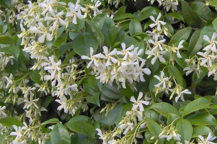 Toscaanse jasmijn (Trachelospermum jasminoides) - wintergroen - zoet geurend!